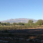 View of the lavender fields and Sandia Peak
