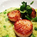 Seared scallops over a pea risotto