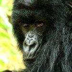 Mama gorilla