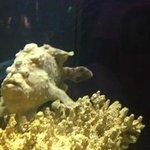Grumpy Frog Fish