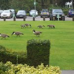 Geese for breakfast