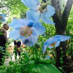 Blue Poppies in the Japanese Garden