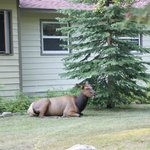 Elk resting next to one of the bungalos