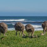 Cape Point Ostriches