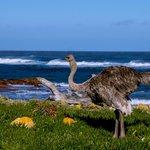 Cape Point Ostrich
