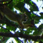 Squirrel Monkey Up in the canopy above us