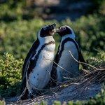 Boulders Penguin