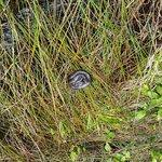 Amethystine Python on Bank of Lake