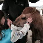 Get a camel cuddle and give them some food...