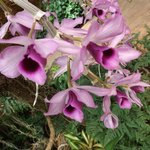 Some of the orchids in the tropical display area