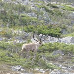 Lucky enough to catch 2 caribou crossing the tracks in front of us. A very unusal site they told