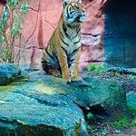 Sono rimasto impressionato nel vedere tigri a circa un mezzo di distanza da me
