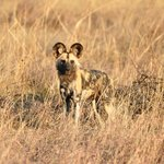 Wild dog sightings are fairly common