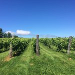 Some of the vines behind the winery