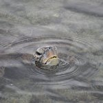 Sea turtle popping its head up at the Place of Refuge beach