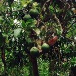 A pear tree. :)