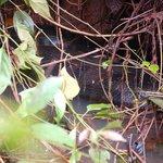 8m anaconda digesting its food