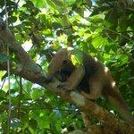 Arboreal anteater