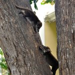 Coatis playing in the tree... babies everywhere!
