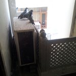 Pigeon in the Hotel