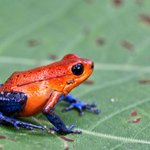 Jeans frog or Strawberry dart frog