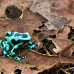 Green and Black Dart-poison Frog