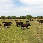 troupeau de taureaux camarguais
