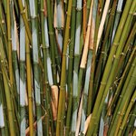 Tremenheere Bamboo