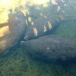 Resident Manatees