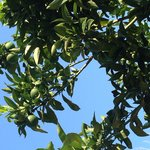 Lime tree outside our room
