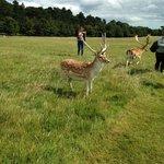 Free deers