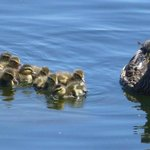 Mama and her ducklings by the park waterfront