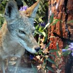 Henry Cowell Redwoods State Park Visitor Center Exhibit, Felton, CA