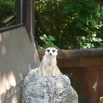 Cute Meerkat