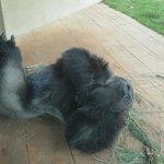 Relaxing Gorilla