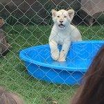 Baby white tiger.