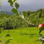 Variedad de manzana con DOP Sidra de Asturias