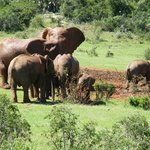 Elephants in Addo