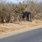 Elephant on the road to Livingston
