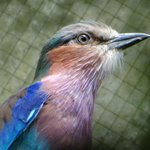 Lilac Breasted Roller - flying about free in a walk-in enclosure