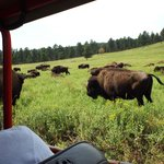 Buffalo Safari Tour