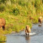 koadiak ayıları