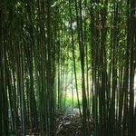 A bamboo grove at The Huntington