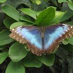 farfalla azzura,stupenda ed enorme