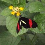 farfalla del padiglione