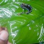 Blue poison dart frog, found in the terra firme