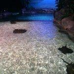 Stingray touching pool