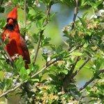 Cardinal - beautiful bird