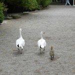 Goose family at Tivoli