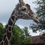 Feeding the giraffes is fun.
